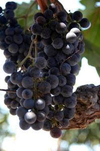 grapes, Alica Mckenna Johnson