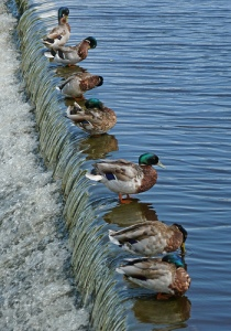 Alica Mckenna Johnson, ducks in a row, Zen, anti-Zen